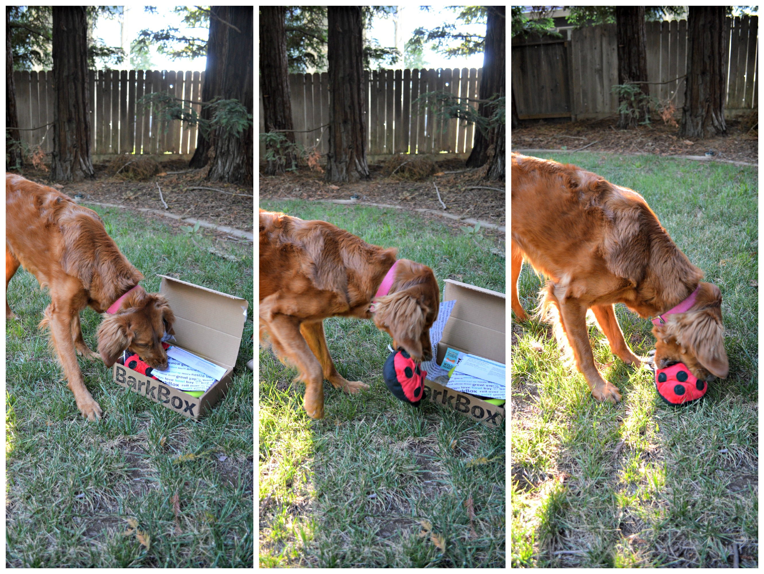 Silly Bum toy from Barkbox. A toy with junk in the trunk that crinkles and squeaks! Rosie is in love with this toy and I can't recommend it enough // Life with Rosie